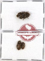 Colydidae Scientific lot no. 5 (3 pcs)