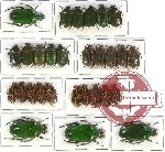 Cetoniidae sc. lot no. 2 (29 pcs A-, A2)