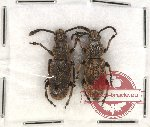 Anthribidae scientific lot no. 49 Xylinda nodicornis (2 pcs)