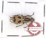 Anthribidae scientific lot no. 50 Xenocerus charis (1 pc)