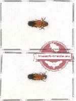 Elateridae sc. lot no. 54 (2 pcs)