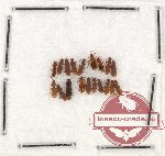Laemophloeidae Scientific lot no. 5 (19 pcs)