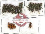 Cleridae Scientific lot no. 26 (19 pcs)