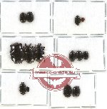 Histeridae Scientific lot no. 50 (14 pcs)