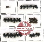 Histeridae Scientific lot no. 52 (40 pcs)