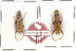 Scientific lot no. 57 Anthribidae Nessiara didyma (2 pcs)