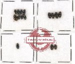 Elmidae Scientific lot no. 9 (15 pcs)