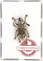 Scientific lot no. 52 Anthribidae (Rawasia ritsemae) (1 pc)