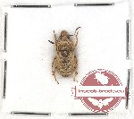 Scientific lot no. 47 Anthribidae (Phloebius pallipes) (1 pc)