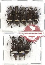 Scientific lot no. 51 Anthribidae (Xenocerus buruanus) (8 pcs)