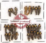 Scientific lot no. 12A Cantharidae (26 pcs)