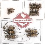 Scientific lot no. 3 Anthribidae (22 pcs)