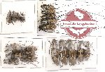Scientific lot no. 4 Anthribidae (21 pcs)