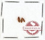 Laemophloeidae Scientific lot no. 2 (3 pcs)