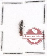 Colydidae Scientific lot no. 8 (1 pc)