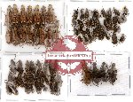 Scientific lot no. 6 Anthribidae (81 pcs)