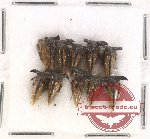 Scientific lot no. 4 Membracinae (10 pcs)
