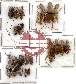 Scientific lot no. 7 Anthribidae (23 pcs)