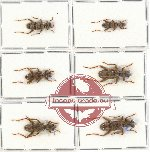 Scientific lot no. 23A Cleridae (6 pcs)