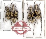 Scientific lot no. 8 Anthribidae (4 pcs)