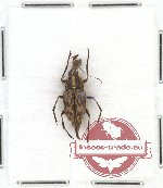 Scientific lot no. 39 Anthribidae (Litocerus perakensis) (1 pc)