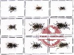Scientific lot no. 149 Tenebrionidae (9 pcs)