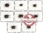 Scientific lot no. 148 Tenebrionidae (8 pcs)