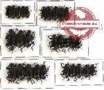 Scientific lot no. 146 Tenebrionidae (28 pcs)