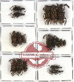 Scientific lot no. 37 Anthribidae (18 pcs - 5 pcs A2)