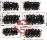 Scientific lot no. 28 Erotylidae (30 pcs)