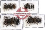 Scientific lot no. 206 Curculionidae (20 pcs)