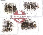 Scientific lot no. 14 Anthribidae (16 pcs)