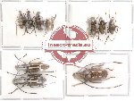 Scientific lot no. 16 Anthribidae (10 pcs)