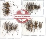 Scientific lot no. 18 Anthribidae (18 pcs)
