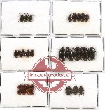 Scientific lot no. 144 Tenebrionidae (29 pcs)