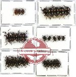 Scientific lot no. 145 Tenebrionidae (29 pcs)