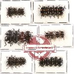 Scientific lot no. 143 Tenebrionidae (28 pcs)