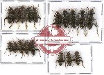 Scientific lot no. 23 Cleridae (Omadius spp.) (18 pcs)