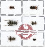 Scientific lot no. 24 Cleridae (6 pcs)
