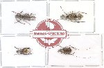 Scientific lot no. 22 Anthribidae (A1,A-,A2) (4 pcs)