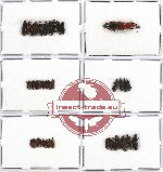 Scientific lot no. 190 Curculionidae (Cossoninae) (41 pcs)