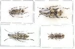 Scientific lot no. 23 Anthribidae (1pc A2) (4 pcs)