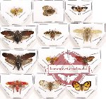 Scientific lot no. 15 Homoptera (12 pcs)