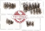 Scientific lot no. 24 Anthribidae (22 pcs)