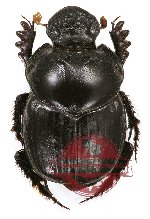 Onthophagus sp. 1