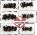 Scientific lot no. 138 Tenebrionidae (30 pcs A-, A2)