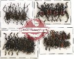 Scientific lot no. 183 Curculionidae (32 pcs A, A-, A2)