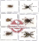 Scientific lot no. 204 Curculionidae (6 pcs)