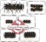 Scientific lot no. 131 Tenebrionidae (32 pcs)