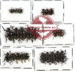 Scientific lot no. 132 Tenebrionidae (26 pcs)